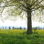 Baum auf einer Wiese in Uetikon am See