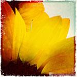 Sonnenblume, Ausschnitt
